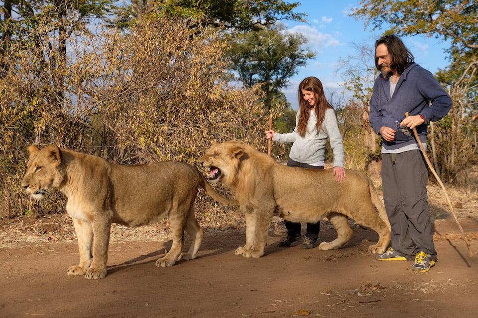 Passeggiare con i leoni